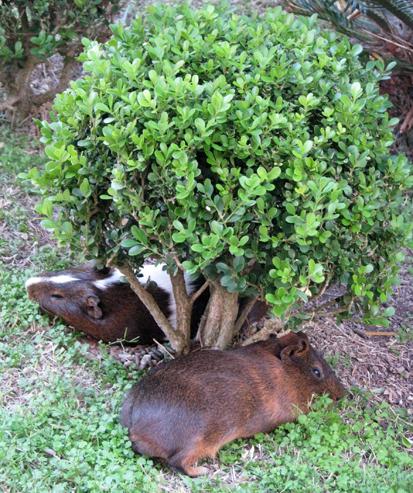 Siesta dos porquinhos