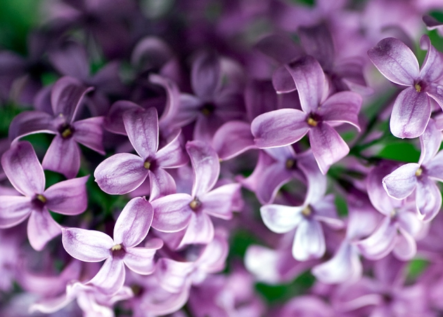 Flower-Lilac-Desktop-Wallpaper