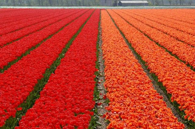 red_orange_tulips