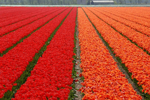 red_orange_tulips